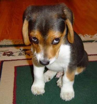 normal_guilty-dog